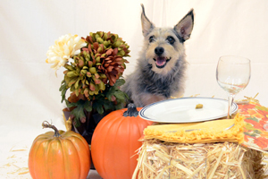 Grey terrier sits by dinner plate and pumpkins
