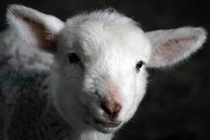 Little white lamb