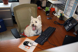 Westie sitting in desk chair