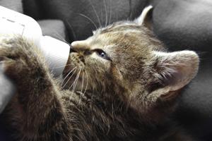 Kitten drinking out of bottle