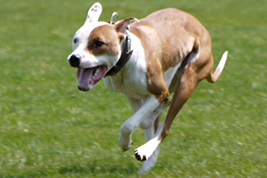 Tan and white pit bull running on grass