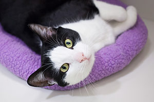 Black and white cat napping on purple pillow