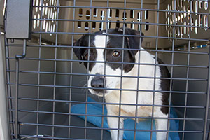 Black and white jack russell terrier in crate