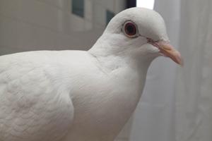 White King Pigeon