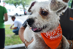 Scruffy terrier wearing orange ASPCA bandanna