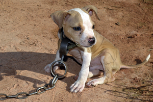 Dog fighting victim attached to a heavy chain