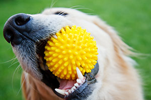 Golden retriever with yellow toy