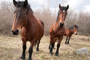 Three chestnut colored horses grazing