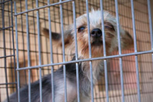 Puppy mill dog in cage