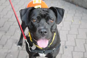 Black dog wearing adoption vest