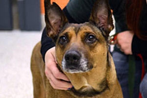 Brown and black dog with pointy ears looking at camera