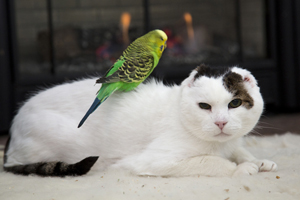 Green parakeet sits on white cat friend's back
