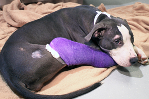 pit bull with cast on legs lays on bed