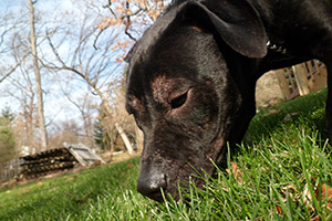 Black and brown pit bull outside sniffing grass
