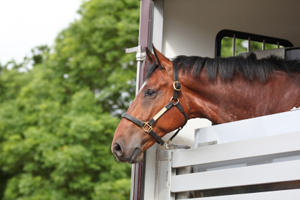 Horse looking out of trailer