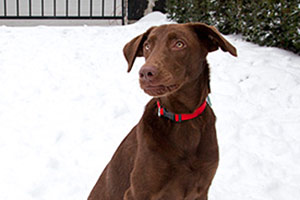 Brown dog wearing red collar sitting in the snow
