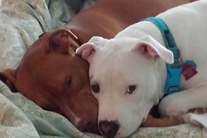 Rescued from Dog Fighting, Buddy Begins New Life