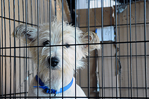 White dog wearing blue collar looking out of crate