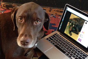 Chocolate lab looks at social media picture on laptop