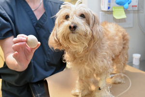 Small Dog Recovers from BIG Bladder Stone