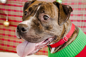 Brindle pit bull wearing red and green sweater