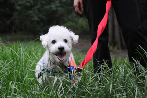 Small white dog playing outside on leash