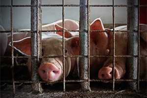 Pigs crammed together on factory farm