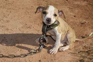 Pit bull puppy attached to big chain