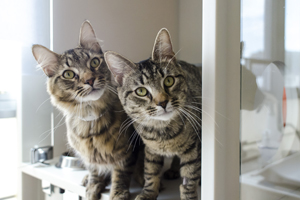 Two cats looking out of kennel