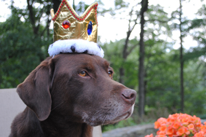 Chocolate lab wearing a crown