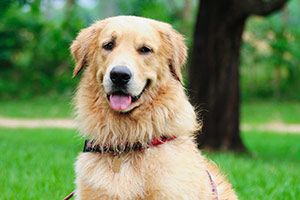 Golden retriever wearing red collar