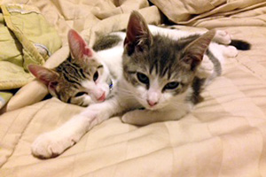 white and brown kittens laying down