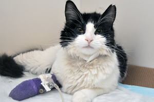 Black and white cat recovering at animal hospital