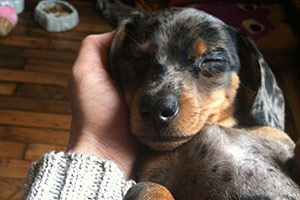 Update: Dachshund Puppies Thriving in New Homes