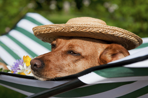 Dog wearing hat laying out in sun