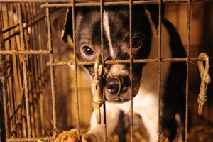 Puppy mill dog in dirty cage