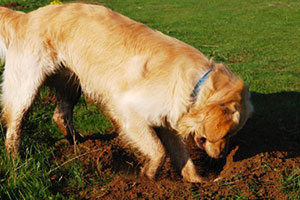a dog digging