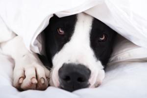 Scared dog hiding under a blanket