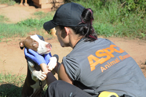 The ASPCA rescued nearly 400 dogs in a multi-state dog fighting raid in August 2013 spanning Alabama, Mississippi and Georgia.