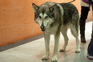 Wiley the Wolf-Dog Visits the ASPCA