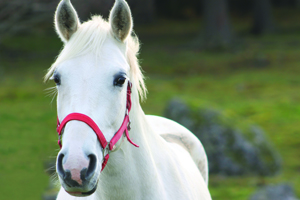Close up of white horse with pink bridle