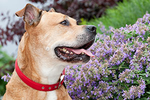 Dog with red collar near purple flowers