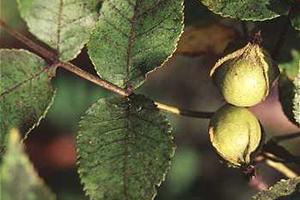 Bitternut