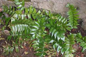 Fish Tail Fern