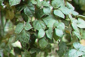 Grape Ivy