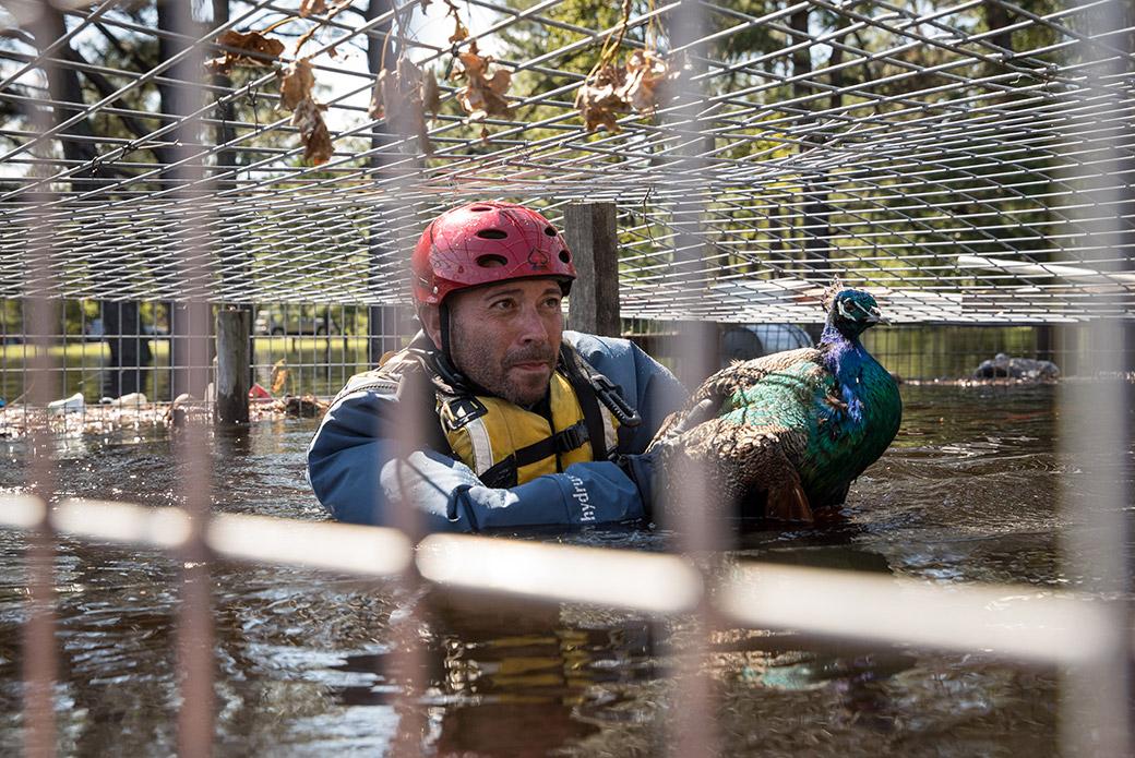 a responder rescuing a peacock