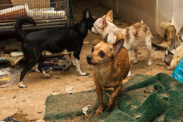 Breaking Aspca Rescues Multiple Dogs Including Chihuahuas