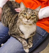 Glitter the Cat sitting on ASPCA staffer's lap