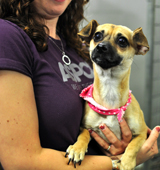 Chihuahua being held by ASPCA staffer