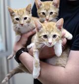 Three orange kittens